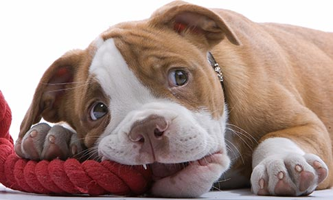puppy chewing on rope